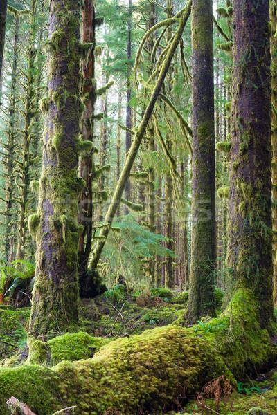 Cedro árvores profundo floresta verde musgo Foto stock © cboswell