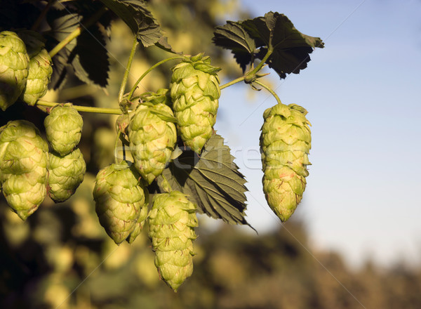 Stock photo: Hops Plants Buds Growing in Farmer's Field Oregon Agriculture