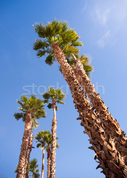 Palm Trees Towering into the Blue Sky Palm Springs Stock photo © cboswell