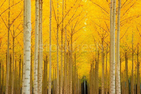 Autumn Stand of Trees Stock photo © cboswell