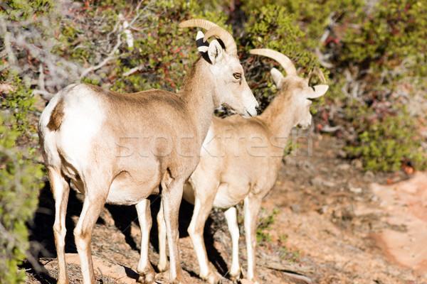 Alpine dağ keçi arama gıda Stok fotoğraf © cboswell