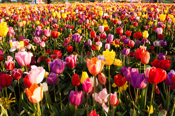 Neat Rows Tulips Colorful Flower Petals Farmer's Bulb Farm Stock photo © cboswell