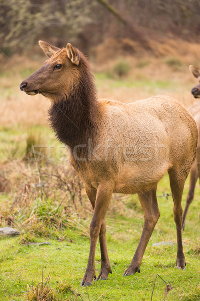Female Elk Stops Grazing to Look at the Group Stock photo © cboswell
