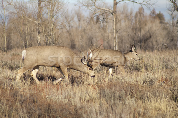 Mule Deer Buck Leading His Female Family Winter Grassland Wildli Stock photo © cboswell