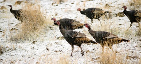 Wild Animal Turkey Game Birds Peck Frozen Ground Feeding Stock photo © cboswell