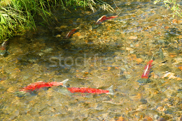 Spawning Fish Wild Salmon Swim Stream River Mating Swimming Stock photo © cboswell