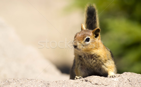 Wild Animal Chipmunk Stands on Rock Viewing Outdoor Landscape Stock photo © cboswell