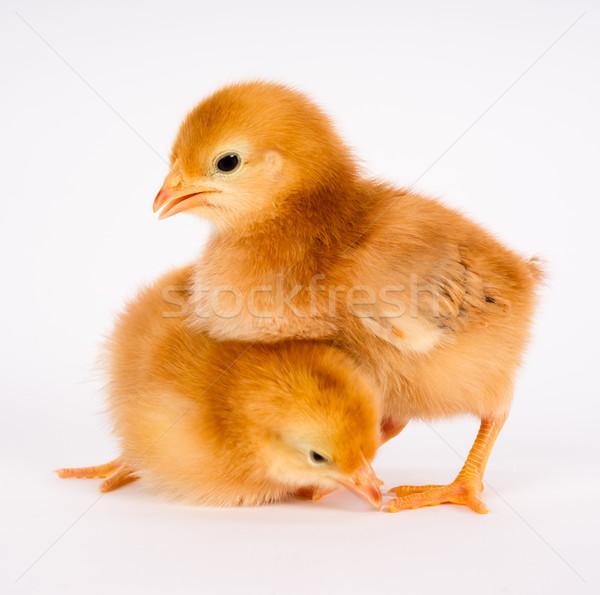Baby Chick Newborn Farm Chickens Standing White Rhode Island Red Stock photo © cboswell