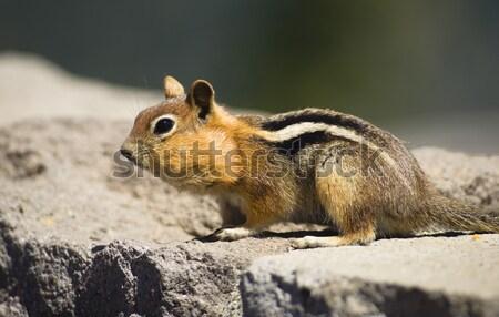 Chipmunk bocado comida corpo rocha Foto stock © cboswell