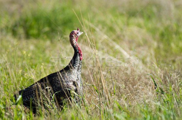 Male Turkey Running Tall Growth Big Wild Game Bird Stock photo © cboswell