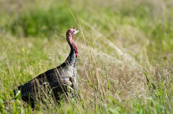 Male Turkey Running Tall Growth Big Wild Game Bird Stock photo © cboswell