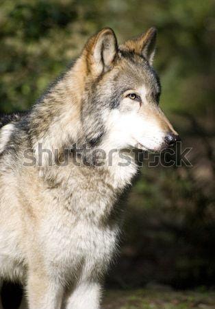 North American Timberwolf Wild Animal Wolf Canine Predetor Meat  Stock photo © cboswell