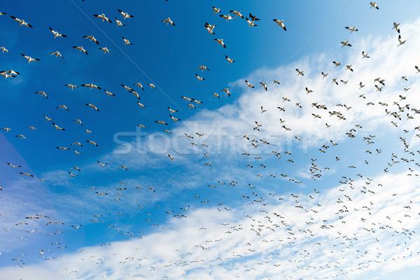Hó libák sereg együtt tavasz vándorlás Stock fotó © cboswell