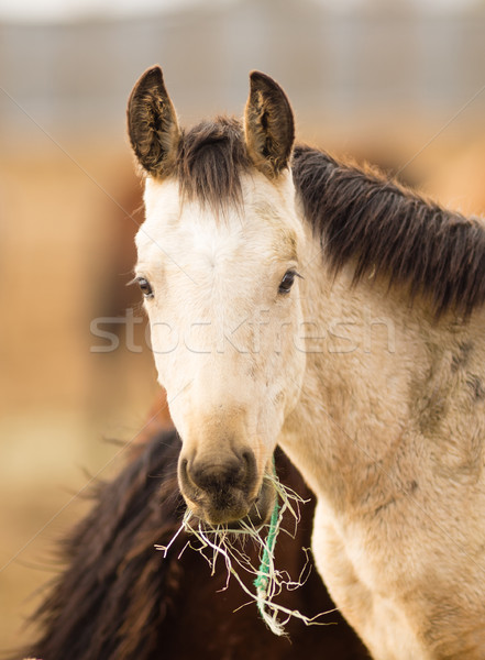 Wild Horse Face Portrait Close Up American Animal Stock photo © cboswell