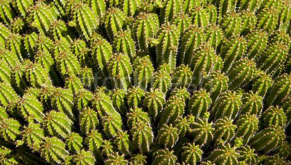 Cactus Festival Stock photo © cboswell