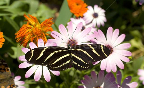 Zebra kelebek dizayn yaprak bahçe güzellik Stok fotoğraf © cboswell