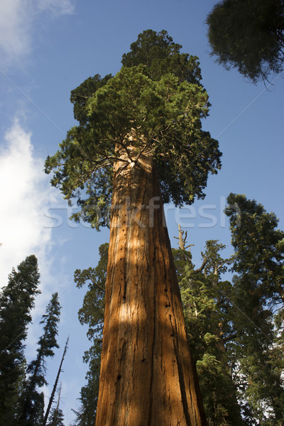 Giant Ancient Seqouia Tree Kings Canyon National Park Stock photo © cboswell