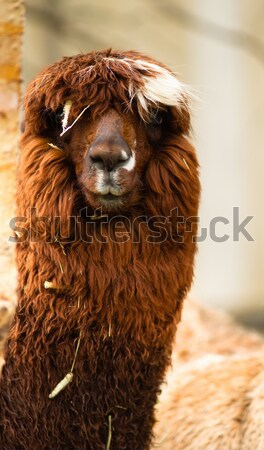 Domestic Llama Group Farm Livestock Animals Stock photo © cboswell