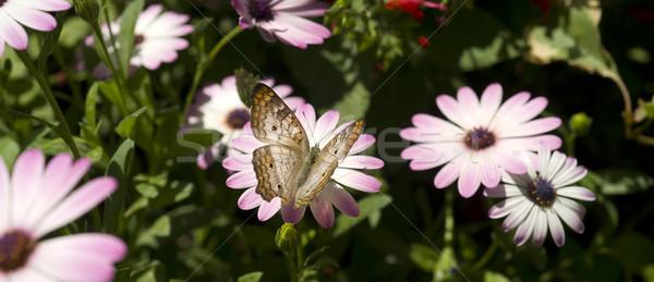 Bahçe hayat beyaz tavuskuşu kelebek çiçek Stok fotoğraf © cboswell