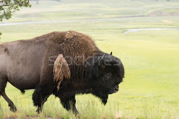 Solitary Buffalo Animal Walks Along Yellowstone Park Wildlife Stock photo © cboswell