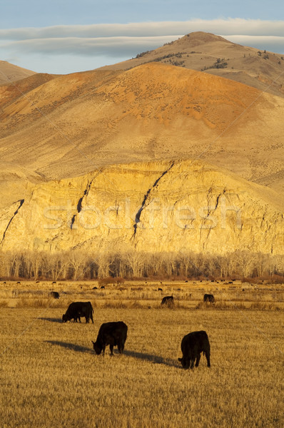 Cattle Grazing Ranch Livestock Farm Animals Western Mountain Lan Stock photo © cboswell