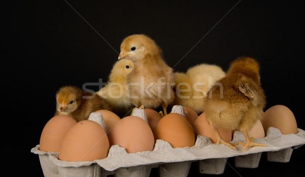 Chickens on a Dozen Eggs Stock photo © cboswell