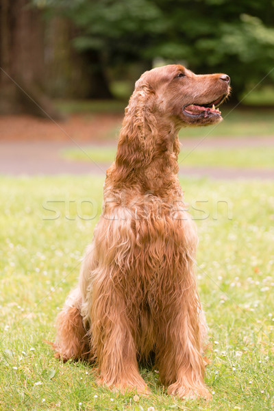 Red Hair Irish Setter Purebred Canine Animal Dog Stock photo © cboswell