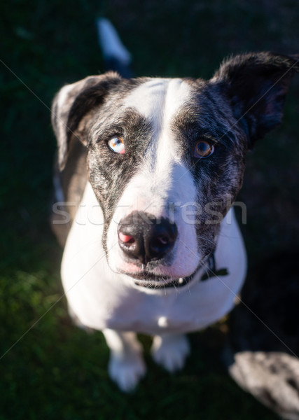 Bright Eyed Unique Looking Dog Canine Looks at Camera Stock photo © cboswell