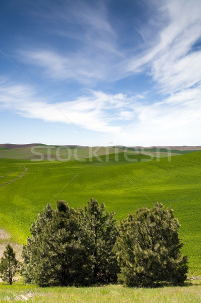 Food Growing Under Blue Sky Farm Field Palouse Country Stock photo © cboswell