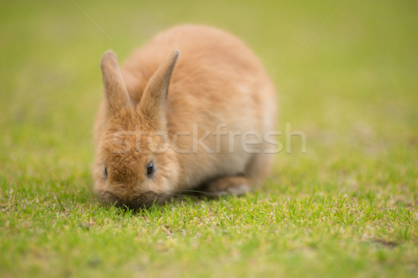 Wild Bunny Feeds on Local Grasses Cute Rabbit Stock photo © cboswell
