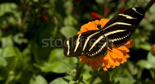 Zebra Longwing  Stock photo © cboswell