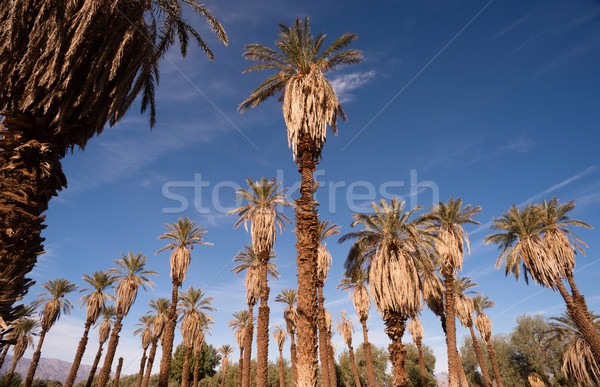 An Oasis of Tropical Trees Furnace Creek Death Valley Stock photo © cboswell