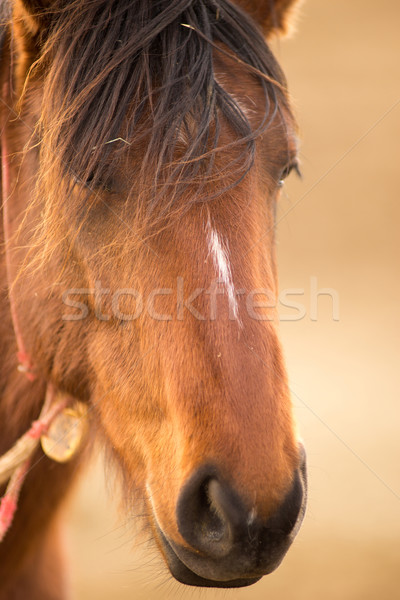 Stock photo: Wild Horse Face Portrait Oregon Bureau of Land Management