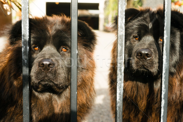 Chow Chow Dogs Purebred Dog Breed Metal Gate Stock photo © cboswell