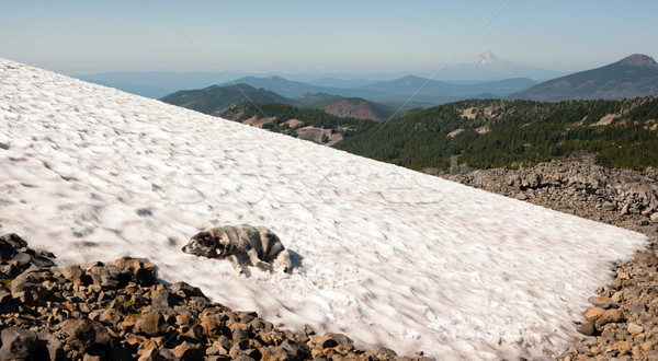 Large Breed Dog Laying Snowfield High Mountain Oregon Cascade Tr Stock photo © cboswell