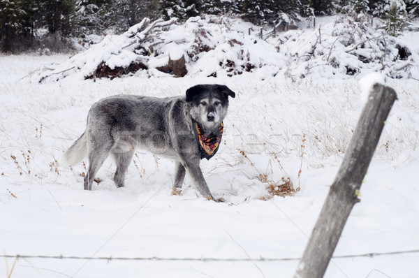 Large Wolfhound Labrador Mix Dog Standing Over Animal Under Snow Stock photo © cboswell