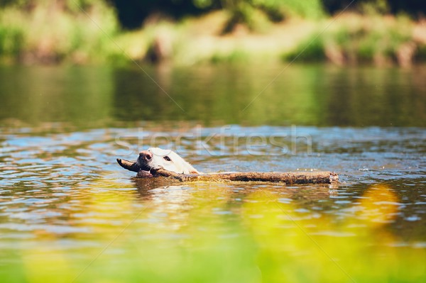 Yaz zaman köpek labrador retriever sopa yüzme Stok fotoğraf © Chalabala