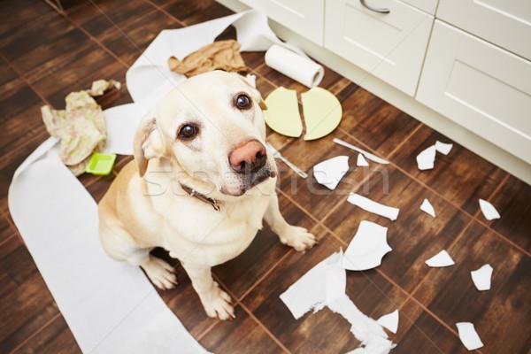 Cão bagunça cozinha casa triste Foto stock © Chalabala