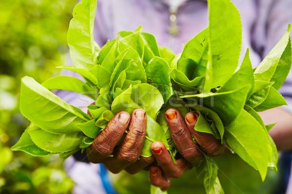 çay tarla eller kadın doğa yeşil Stok fotoğraf © Chalabala