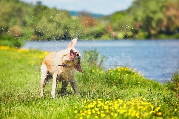 Köpek su yüzme nehir labrador retriever Stok fotoğraf © Chalabala