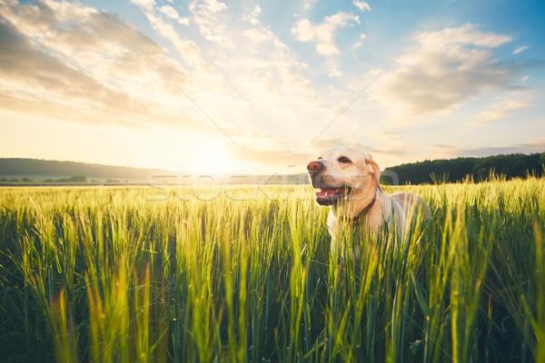 Chien domaine sunrise labrador retriever marche Photo stock © Chalabala