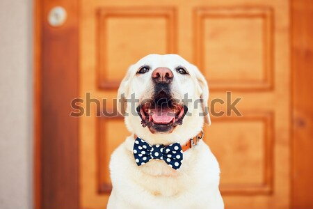 Sevimli köpek mutfak labrador retriever kek Stok fotoğraf © Chalabala