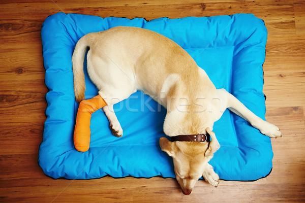 собака сломанной ногой желтый Лабрадор ретривер спальный медицинской Сток-фото © Chalabala