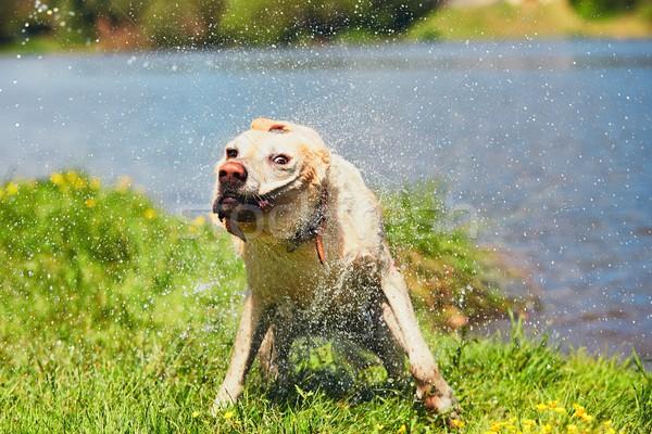 собака воды плаванию реке Лабрадор ретривер Сток-фото © Chalabala
