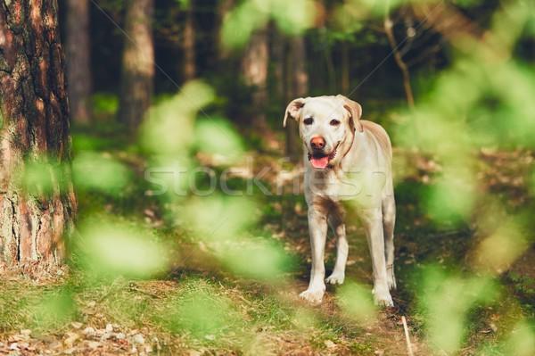 Chien forêt jaune labrador retriever ensoleillée été Photo stock © Chalabala