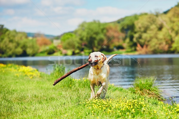 Mutlu köpek sopa yüzme nehir labrador retriever Stok fotoğraf © Chalabala