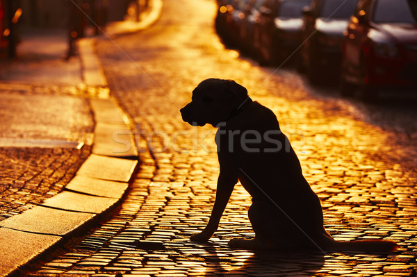 Kayıp köpek siluet sokak gün batımı araba Stok fotoğraf © Chalabala