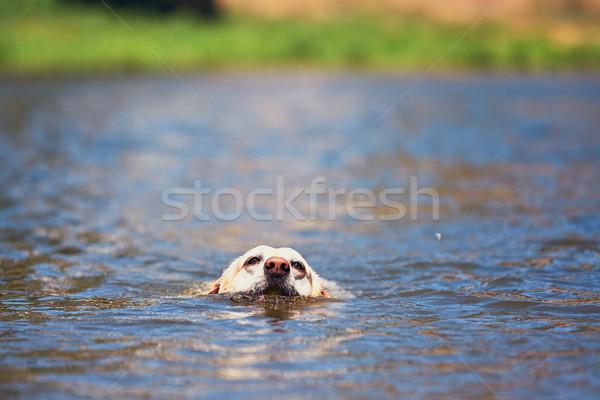 Yaz zaman köpek labrador retriever yüzme nehir Stok fotoğraf © Chalabala