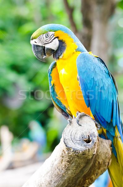 macaw parrots Stock photo © chatchai