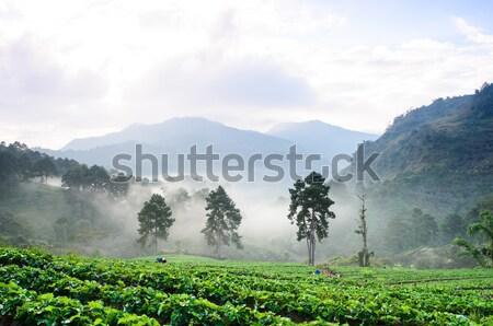 çilek alanları sabah kuzey Tayland meyve Stok fotoğraf © chatchai